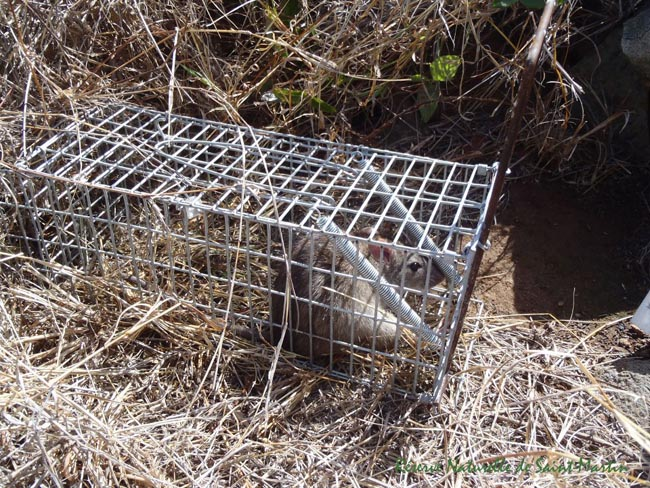 Rodent eradication