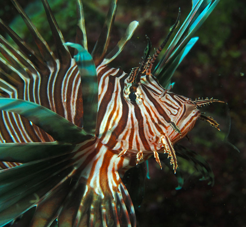 Poisson-lion | Lionfish © Julien Chalifour