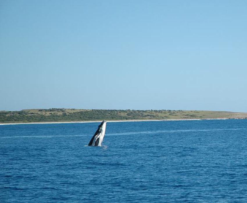 Baleine à bosse au large de Tintamare | Humpback whale off Tintamarre © Nicolas Maslach