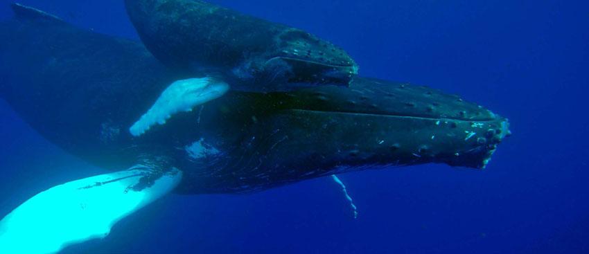 Une baleine à bosse et son baleineau | A humpback whale and her calf © Laurent Bouveret / OMMAG