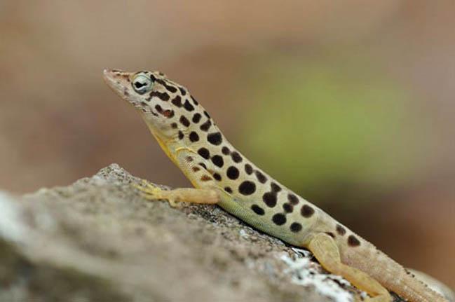 L'anoli de Saba (Anolis sabanus) est la seule véritable espèce endémique de l'île © DCNA
