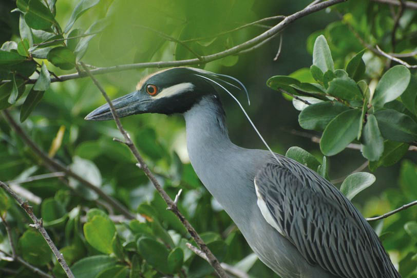 Magnifique gros plan sur un bihoreau violacé - Beautiful zoom on a Yellow-crowned Night Heron