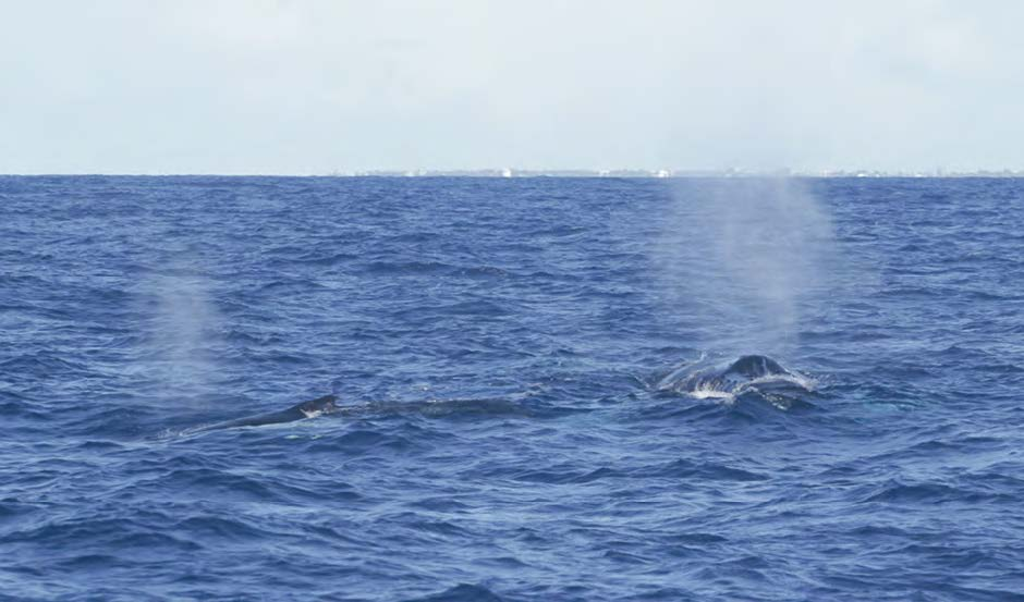 On repère les baleines à bosses à leur souffle puissant  © Christophe Joe