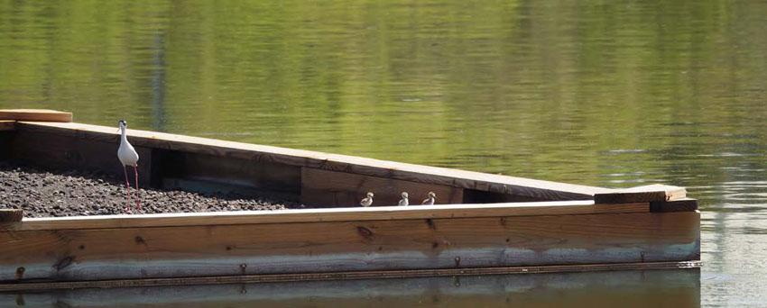 Trois petits poussins repérés sur le radeau aux terres Basses - Three baby birds seen on the raft in the Lowlands © Caroline Fleury