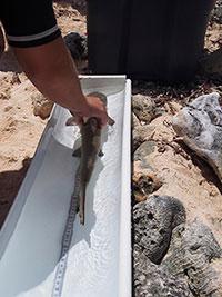 Un requin citron juvénile pesé, mesuré, tagué et remis à l'eau