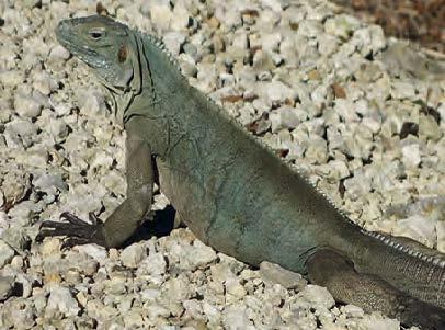 Le Grand Cayman Blue Iguana (Cyclura lewisi), une espèce endémique classée en danger sur la liste rouge de l'UICN