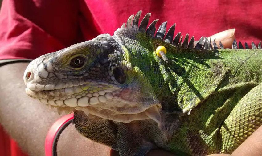 Iguane des Petites Antilles - Lesser Antillean Iguana
