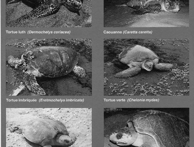 Learn to recognize  Marine turtles in Atlantic