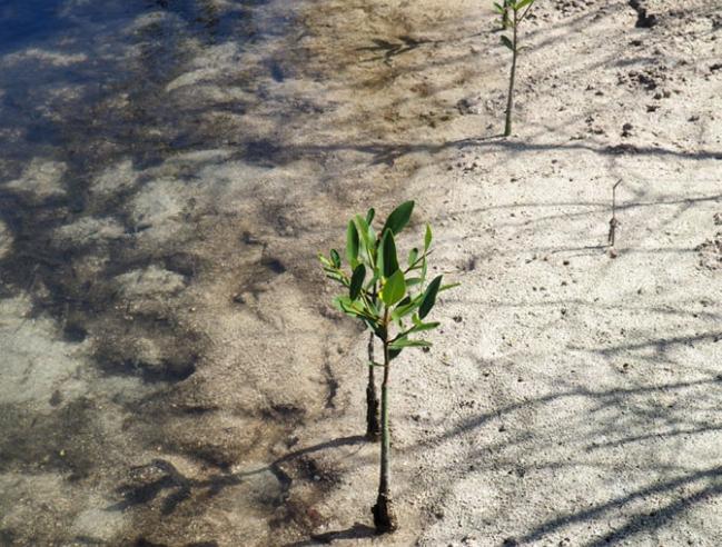 Une pousse de palétuvier | A mangrove shoot © Caroline Fleury