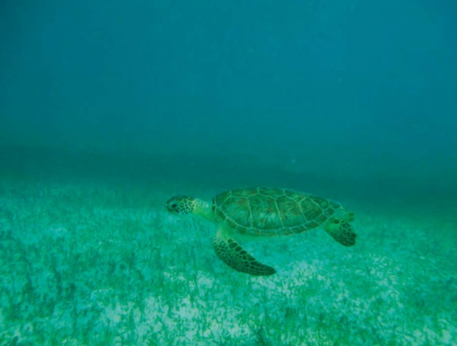 Une tortue verte sur l'herbier de Tintamare A green sea turtle in the Tintamare plant bed © Julien Chalifour