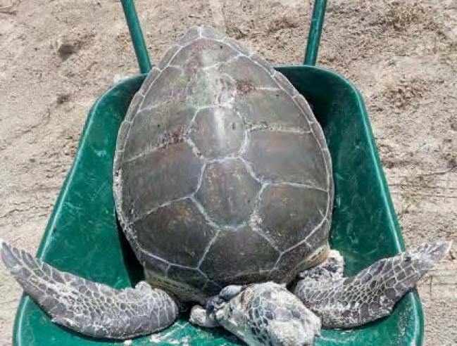 Cette tortue a été victime d'un braconnier