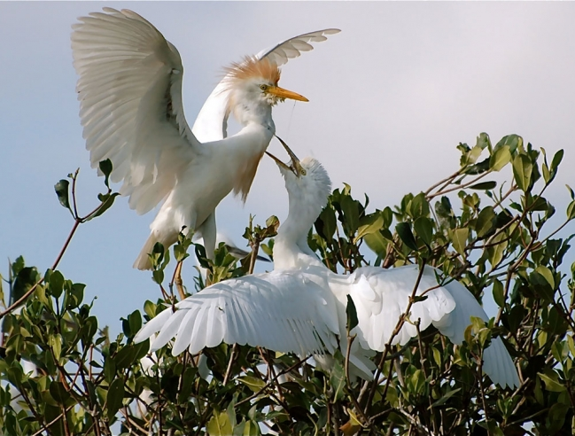 Cattle egret feeding a chick
