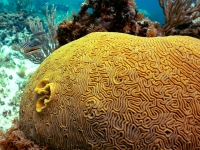 Neptune's brain coral