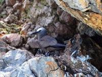 Noddi brun au nid