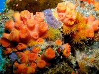 Corail tubastrée orange