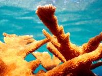 Corail cornes d'élan