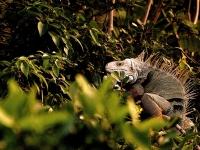 L'iguane vert : une espèce invasive bien installée
