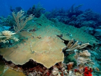 Corail étoilé