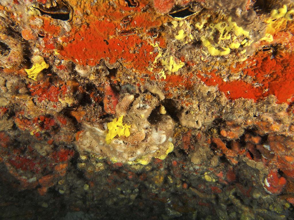 Les éponges constituent la plus grande partie des récifs coralliens de la Caraïbe © Julien Chalifour