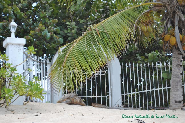Tortue imbriquée cherchant à nidifier en haut de plage à baie aux Prunes