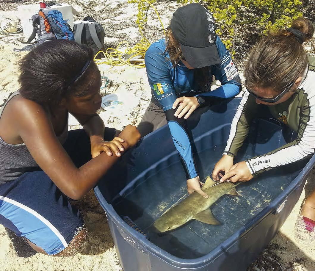 Marking a juvenile shark