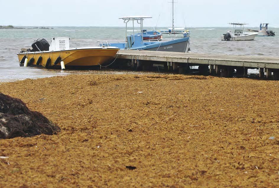La baie de Cul-de-Sac envahie par les sargasses