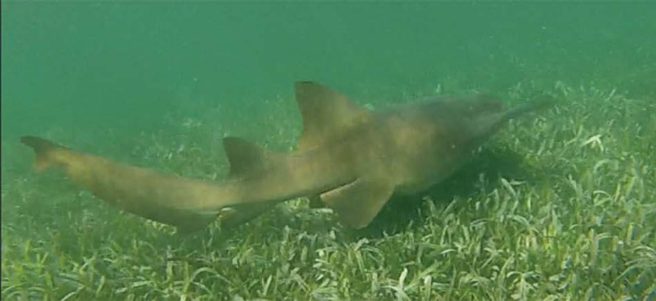 Requin nourrice | Nurse shark