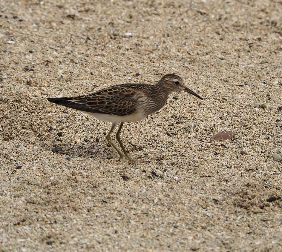 Un bécasseau poitrine cendrée Sandpiper with ash-colored breast © Julien Chalifour