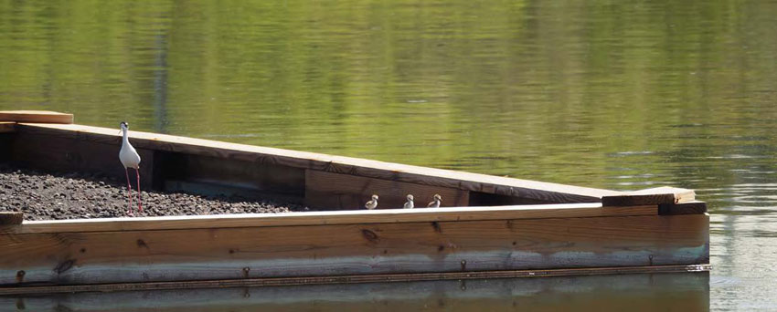 Trois petits poussins repérés sur le radeau aux terres Basses - Three baby birds seen on the raft in the Lowlands © Caroline Fleury