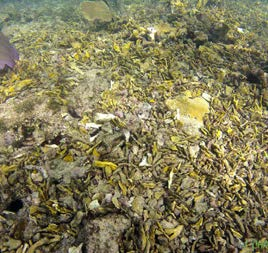 Le même site de cornes de cerf avant et après Irma, au sud de la baie orientale The same site of Staghorn coral, to the south of Orient Bay, before and after Irma