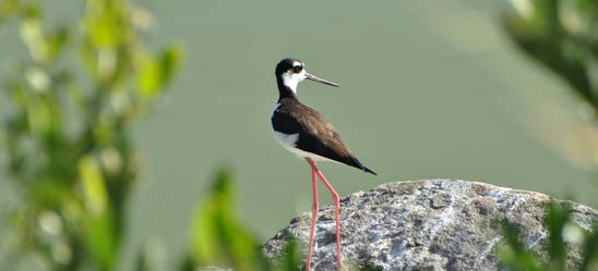 Échasse d'Amérique - The black-neck stilt