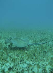 Une raie dans l'herbier - A ray in the seagrass © Julien Chalifour