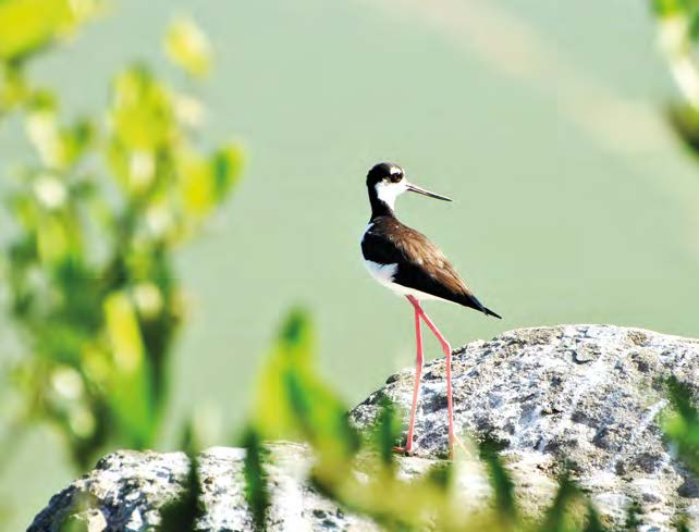 Èchasse d'Amérique Black-necked stilt © Julien Chalifour