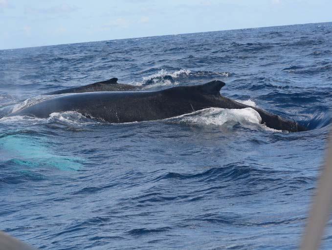 Deux baleines à bosse - Two humpback whales