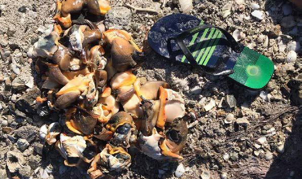 36 lambis sortis de leur coquille 36 conch out of their shells