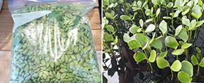 Des graines et des pousses de palétuviers - Mangrove seeds and seedlings