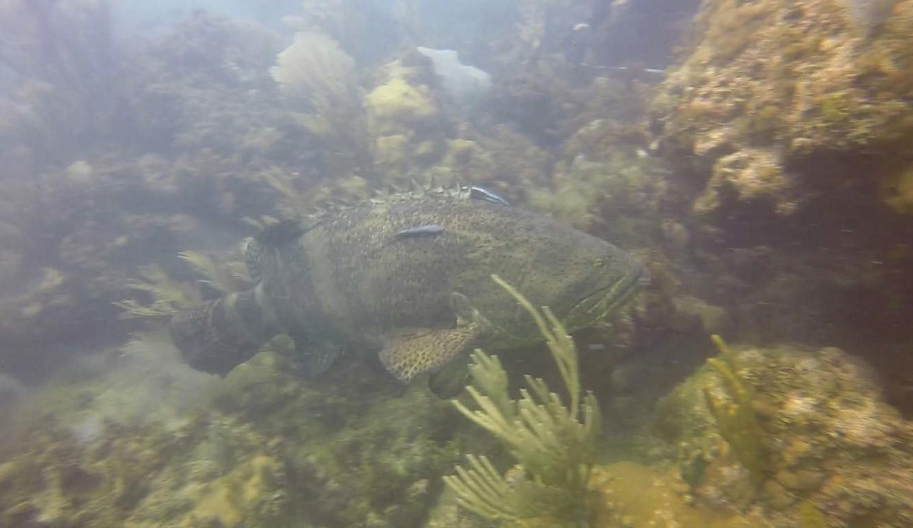Le mérou géant observé le 22 octobre 2020 - The giant grouper seen on October 22, 2020