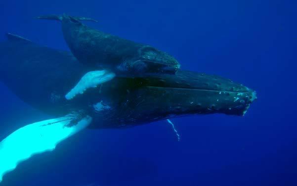 Baleine à bosse et son baleineau - A humpback whale and her caf l © Laurent Bouveret