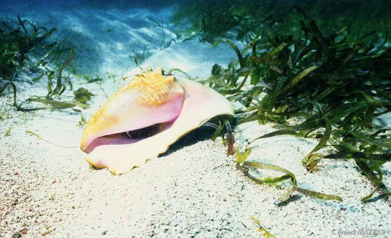 Lambi - Conch