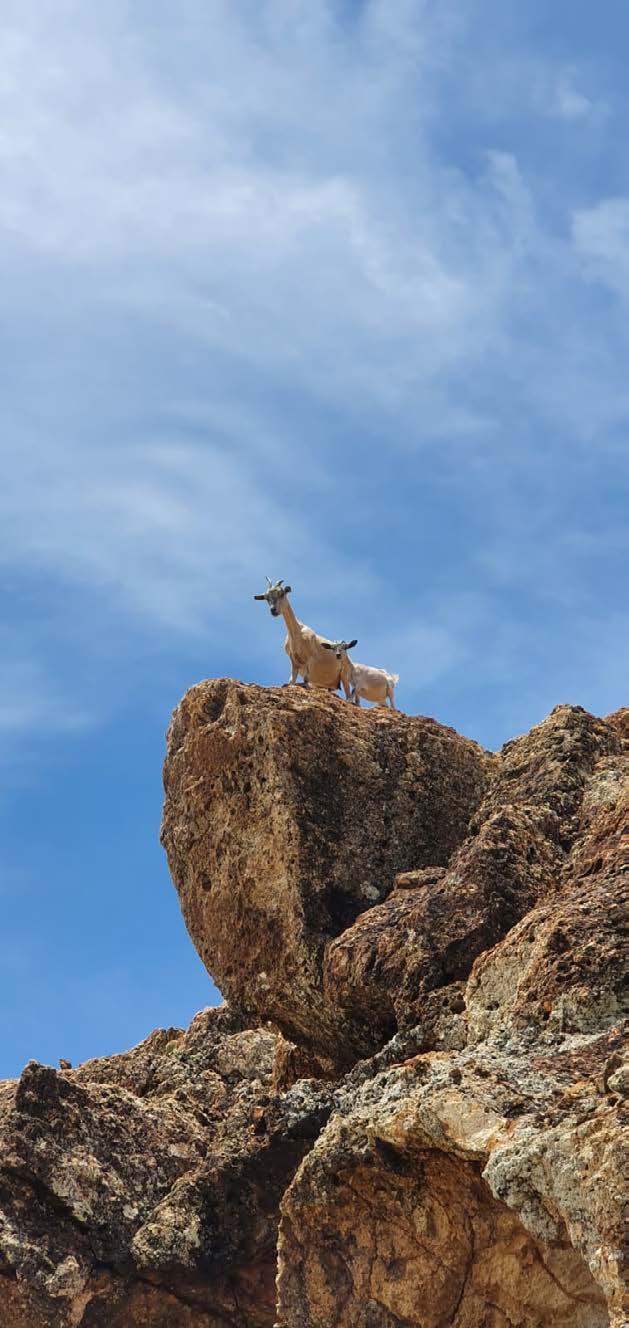 - 3000 à 5000 chèvres en liberté à Saint-Barth - 3000 to 5000 wild goats in Saint Barth