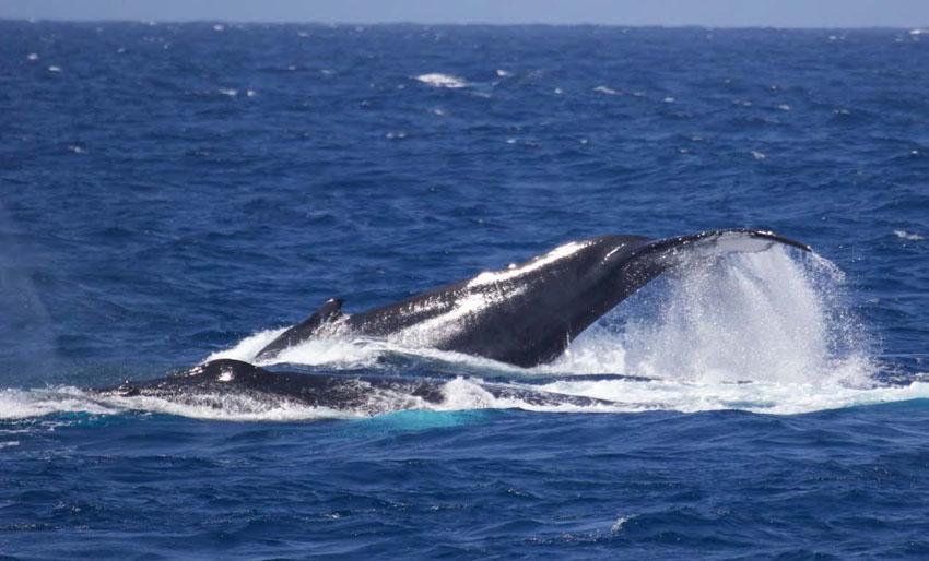 Deux baleines à bosse - Two humpback whales © Agence de l'environnement de Saint-Barth