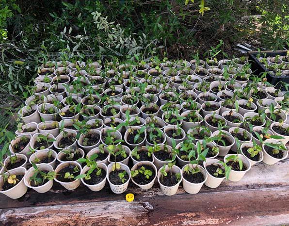 Pousses de palétuviers - Mangrove seedlings