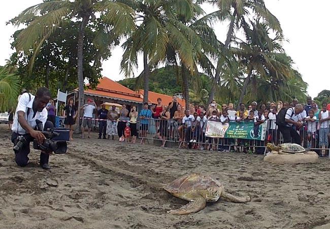 Gaïa relâchée sur la plage de Malendure, en Guadeloupe | Gaïa, released in Guadeloupe