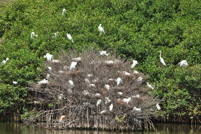 Les aigrettes apprécient l'étang du cimetière | The egrets enjoying the Etang du Cimetière