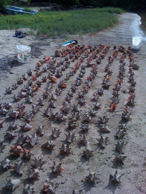 254 lambis ont été remis à l'eau | 254 conches were returned to sea © Steeve Ruillet
