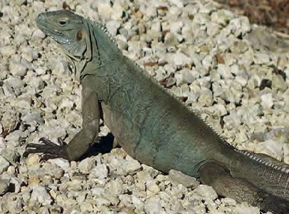 The Grand Cayman Blue Iguana (Cyclura lewisi), an endemic endangered species on the UICN red list