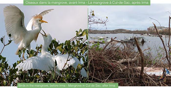 Birds in the mangrove, before Irma - Mangrove in Cul de Sac, after Irma