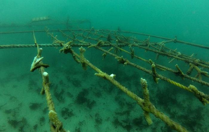 Cette pépinière de coraux a disparu - This coral nursery has been destroyed