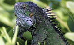 Iguana Iguana © Julien Chalifour