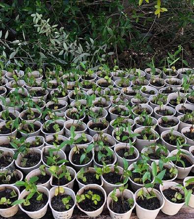 Mangrove shoots